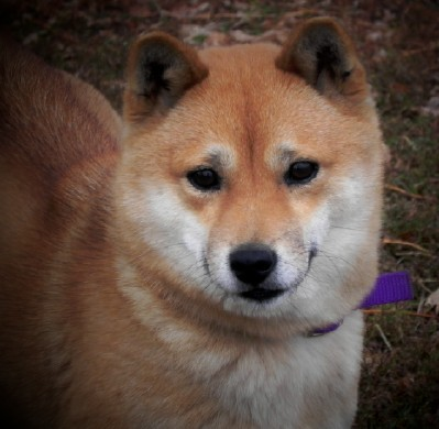 Shiba Inu Shiba Inu Puppies Home Raised Excellent Health