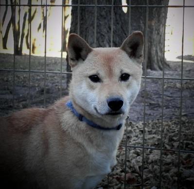 Shiba Inu Shiba Inu Puppies Home Raised Excellent Health